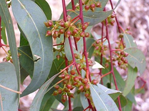 Roter Eukalyptus -Eucalyptus camaldulensis-  20 Samen