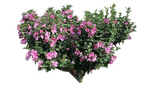 Garten Eibisch -Hibiscus Syriacus- 350 Samen