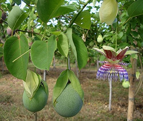 Kalebassen Passionsfrucht -passiflora maliformis- 10 Samen