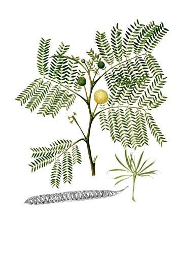 Weißkopf Mimose -Leucaena leucocephala- 50 Samen