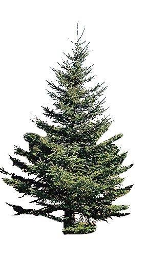 Weiß Fichte -Picea Glauca- 50 Samen