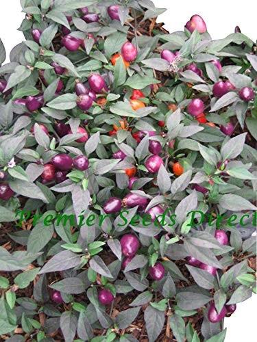 Filius Blue Chili 10 Samen