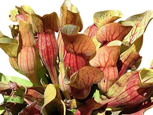 Rote Schlauchpflanze -Sarracenia purpurea- 10 Samen
