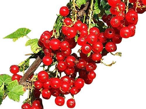Johannisbeere -Ribes rubrum- 10 Samen