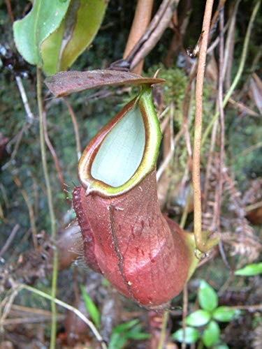 Tropische Kannenpflanze -nepenthes longifolia- 10 Samen