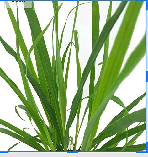 Zitronengras -Cymbopogon citratus- 10.000 Samen