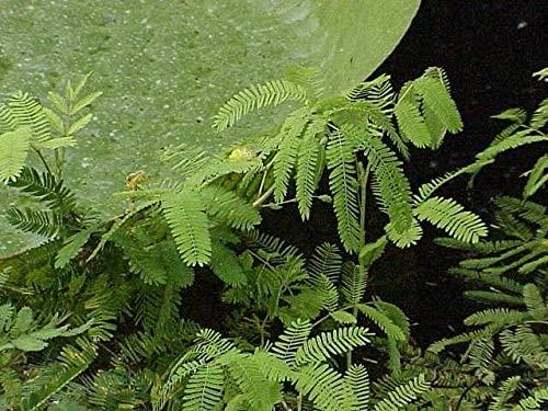 Wassermimose (Neptunia oleracea) 10 Samen -Asiatische Küche-