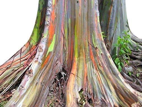 Regenbogen Eukalyptus -Eucalyptus deglupta- 30 Samen