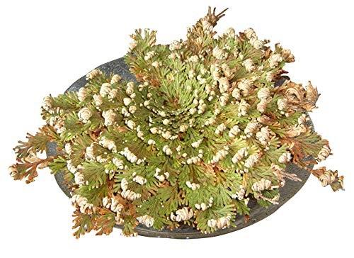 Unechte Rose von Jericho -Selaginella lepidophylla- Pflanze