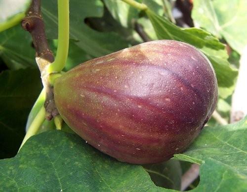 Winterharte Süße Feige -ficus- 10 Samen