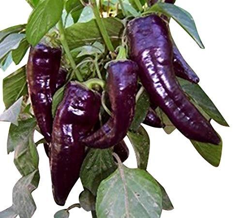 Marconi Purple 10 Samen