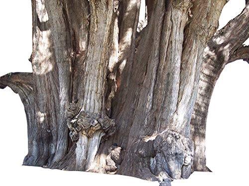 Mexikanische Sumpfzypresse -Taxodium mucronatum- 10 Samen