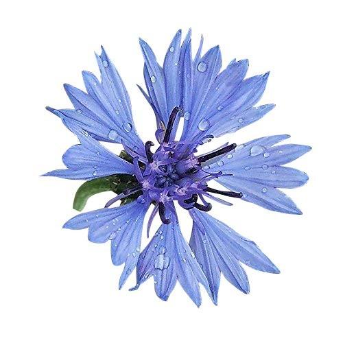 Blaue Kornblume -Centaurea cyanus- 10.000 Samen