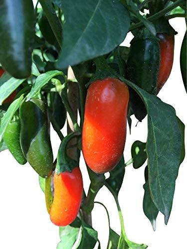 Numex Jalapeno Orange Spice 10 Samen