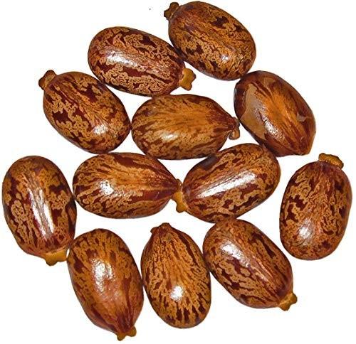 Ricinus Wunderbaum -ricinus communis- 30 Samen