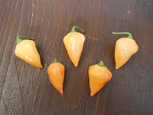 Orange Lantern 10 Samen