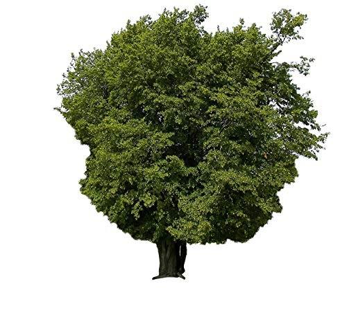 Hainbuche -carpinus betulus- 1000 Samen