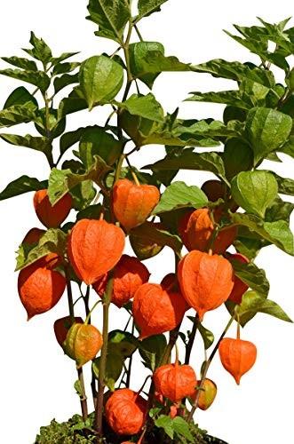 Lampionblume -Physalis alkekengi- 10 Samen