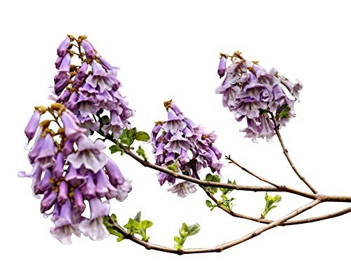 Blauglockenbaum -Paulownia tomentosa- 1000 Samen