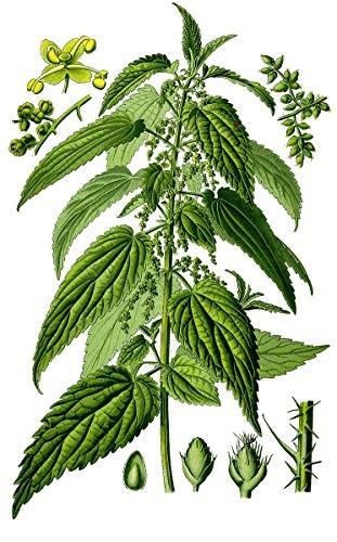 Echte Brennnesseln -Urtica dioica- 10.000 Samen