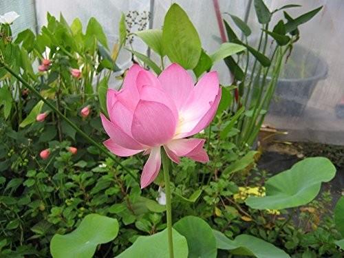 Lotusblume Pink -Nelumbo nucifera- 100 Samen