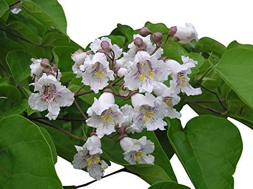 Trompetenbaum -Catalpa bignonioides- 1000 Samen