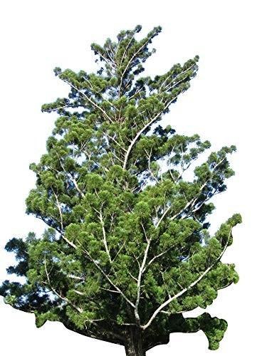 Schmuck-Tanne/Neuguinea-Araukarie -Araucaria cunninghamii- 10 Samen