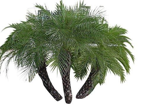 Zwerg Dattelpalme -Phoenix roebelinii- 1 kg Samen