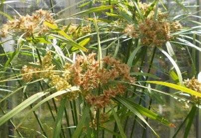 Winterhartes Zyperngras -Cyperus glaber- 30 Samen