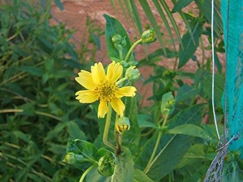 Ramtillkraut -Guizotia abyssinica- 1000 Samen