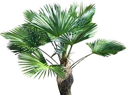 Wagners -Winterharte Hanfpalme- -trachycarpus wagnerianus- 5 Samen