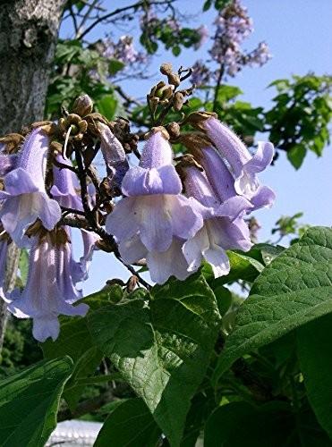 Paulownia -catalpifolia- 100 Samen