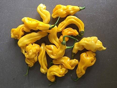Malaysian Goronong Yellow 10 Samen