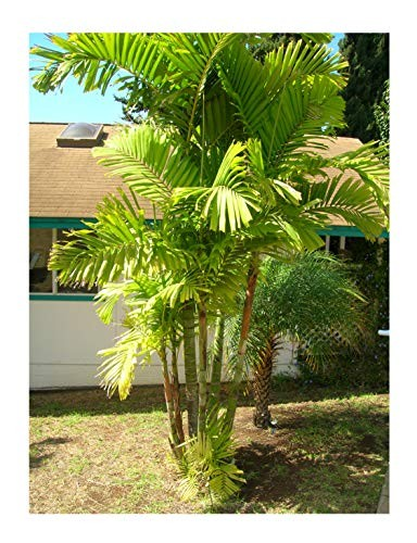Mac Arthur-Palme -Ptychosperma macarthurii- 10 Samen