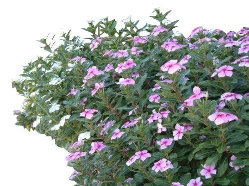 Madagaskar Immergrün -Catharanthus roseus- 100 Samen