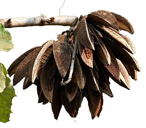 Bananenschalenbaum -Pterospermum acerifolium- 5 Samen