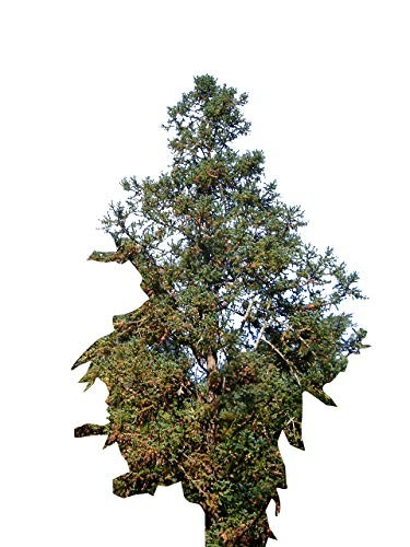Spießtanne/Chinesische Tanne -Cunninghamia lanceolata- 40 Samen