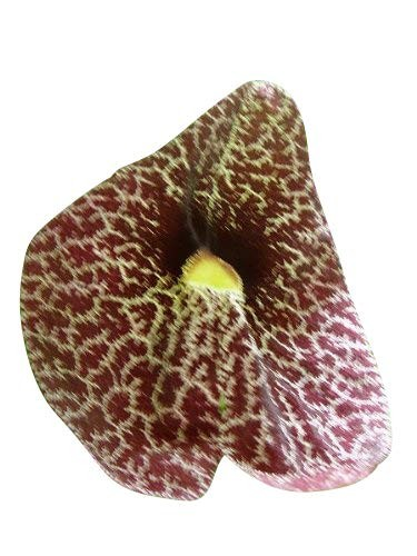 Gespensterblume -Aristolochia elegans- 1000 Samen