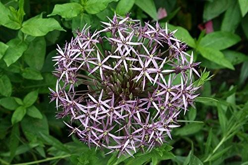 Riesen Zierlauch -allium- 15 Samen