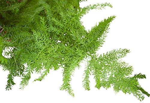 Zierspargel/Feder-Spargel -Asparagus setaceus- 10 Samen