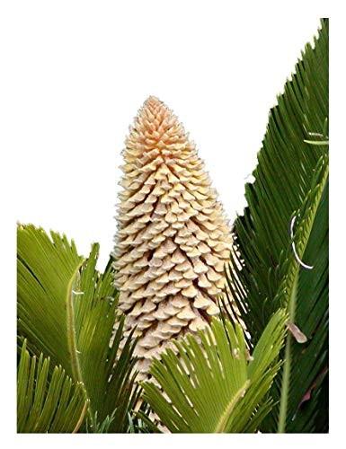 Cycas Palme - Cycas revoluta- 1 Samen