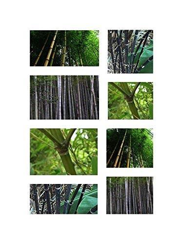 Winterharter Riesen Bambus Mix 165 Samen