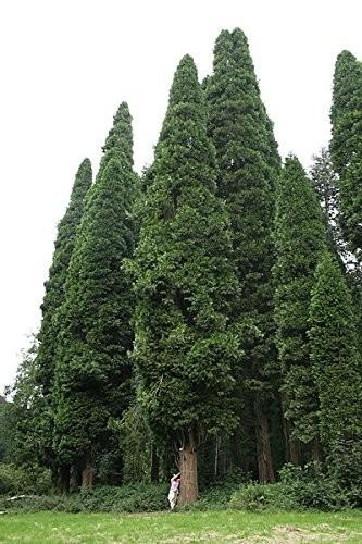 Gigantische Weihrauchzeder -Calocedrus decurrens- 20 Samen