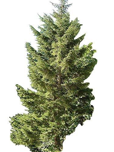 Riesen Fichte  -Picea orientalis- 50 Samen