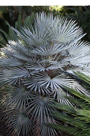 Winterharte Blaue Zwerg-Palme -Chamaerops humilis var cerifera- 10 Samen