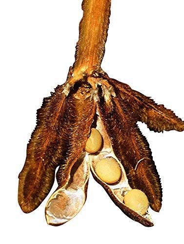 Sojabohne -glycine max- 25 Samen