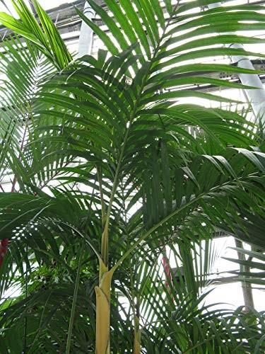 Elfenbeinpalme - Pinanga coronata - 10 Samen
