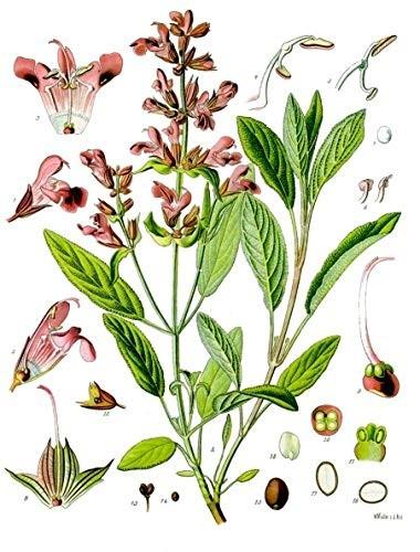 Echter Salbei -Salvia officinalis- 25 Samen