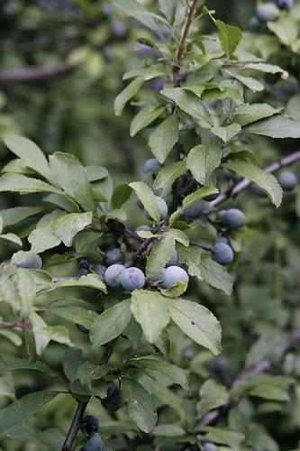 Schlehen , Schlehdorn 5 Samen -Prunus spinosa-