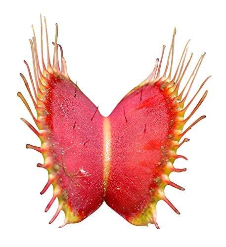 Venus Fliegenfalle -dionaea muscipula- 10 Samen